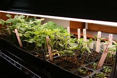 seedlings under lights