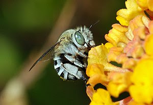English: A Blue-banded bee (Amegilla sp.) coll...