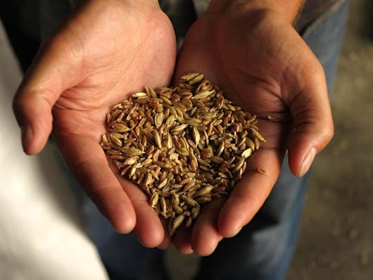 Heritage and ancient grain project feeds a growing demand - OrganicBiz