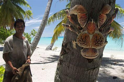 Massive Coconut Crab pinches the Spotlight