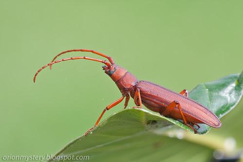IMG_7034 copy red longhorn beetle Aerogrammus procerus