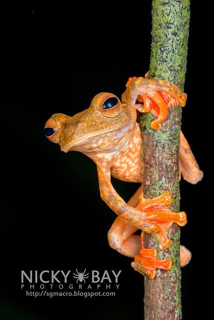 Harlequin Flying Frog (Rhacophorus pardalis) - DSC_8936