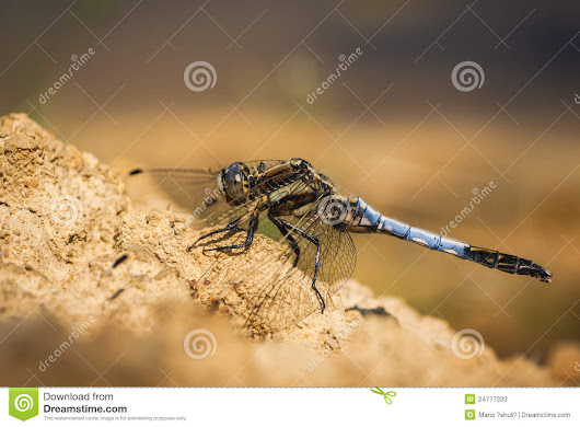 Orthetrum Cancellatum Dragonfly Stock Photos - Image: 24777333