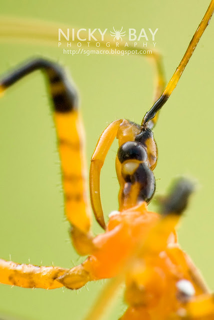 Assassin Bug (Reduviidae) - DSC_9686