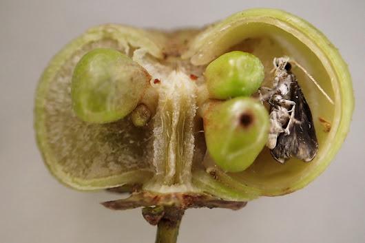 Plant keeps moths captive inside its fruits for almost a year