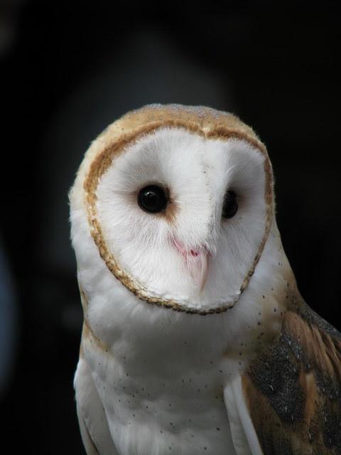 Oberon the Barn Owl