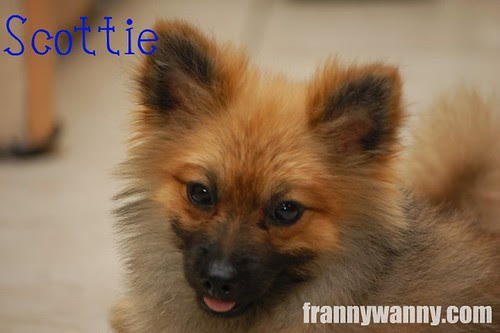 scottie pomeranian