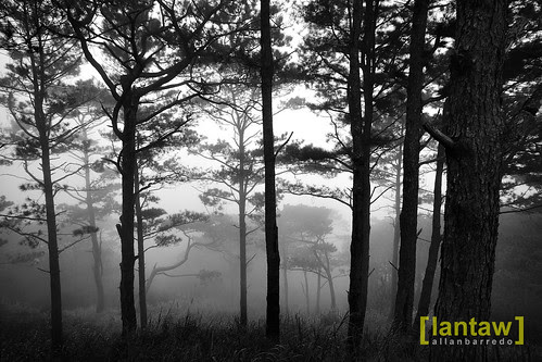 Salacsac Foggy Pine Forest in BW