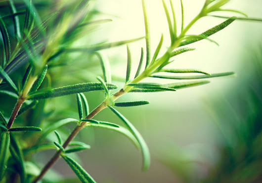 Rosemary: 4 major benefits of this herb - Boulder Acupuncture