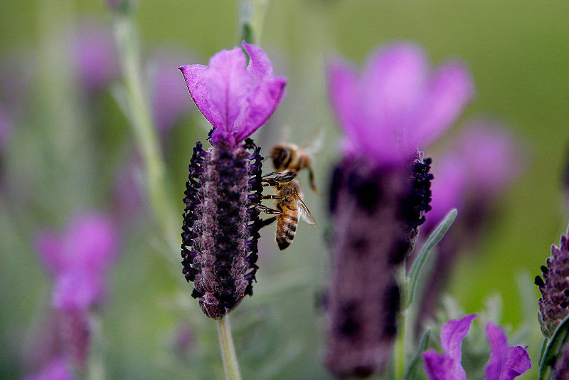 File:Bee on lavender flower.jpg