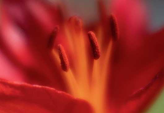 Close-up, Soft Focus Of Bright Red Lily Flower by Barbara Rogers Nature Inspired Art Photography