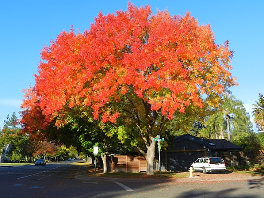 A List of Drought Tolerant Trees for Northern California