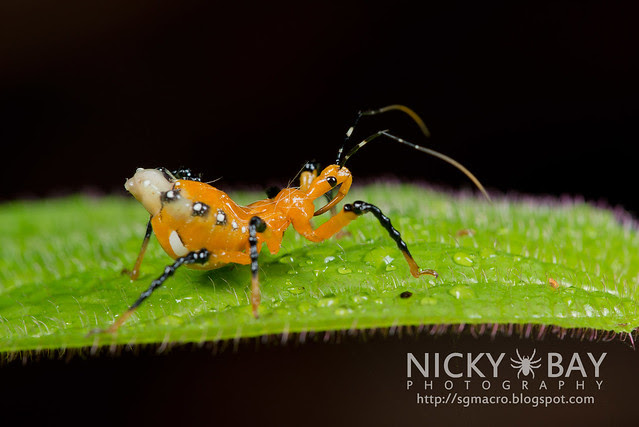 Assassin Bug (Reduviidae) - DSC_9025