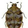 The Varied Carpet Beetle, A New Pest In North West Homes