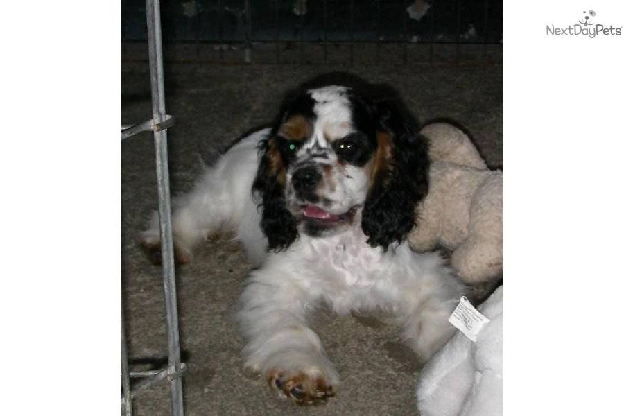 AKC TRI PARTI MALE | Cocker Spaniel puppy for sale near Cleveland, Ohio | 5b5360f5-7ed1
