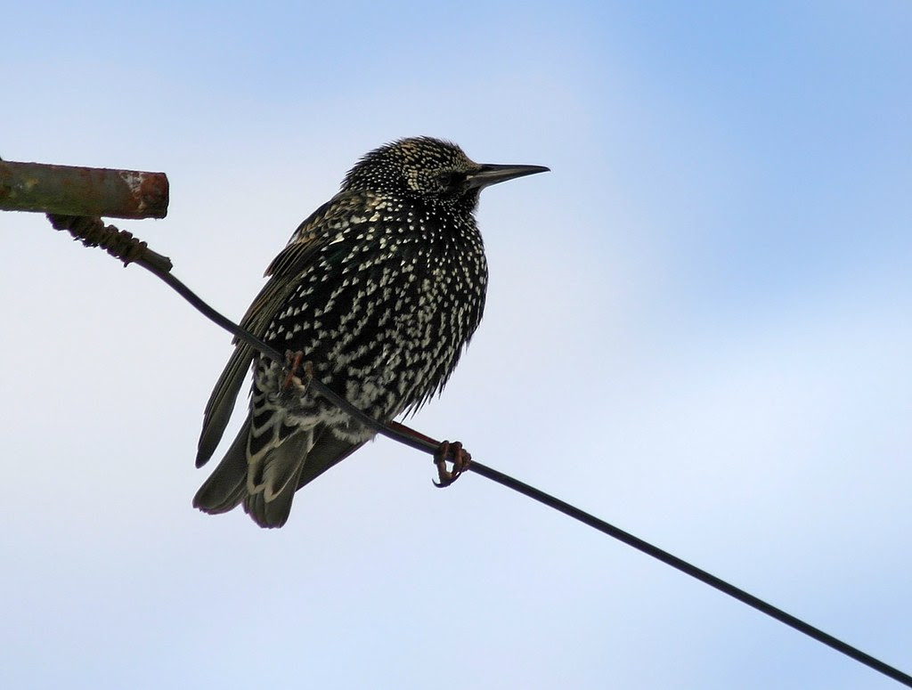 23775 - Starling, Pontarddulais