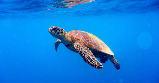 Sea Turtle Populations Are Making a Comeback