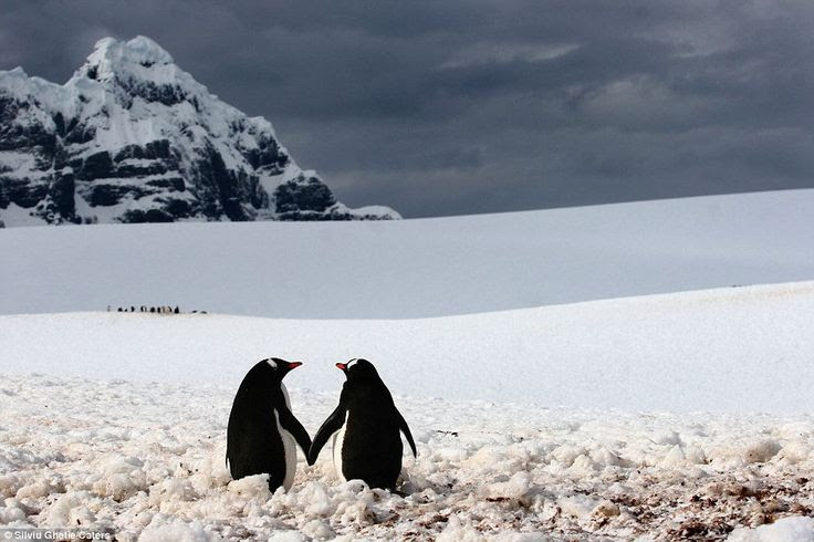 Just the two of us: This romantic pair of penguins hold hands as their buddies congregate in the distance in Port Lockroy, a natural harbour in the Antarctic Peninsula