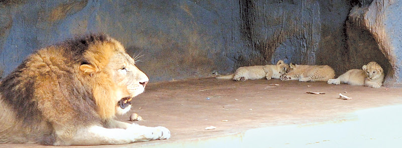 Lion cubs born at Dehiwala zoo