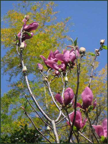 27 magnolia and bamboo