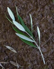 olive snip