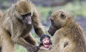 Can't let go! Baby baboon grips his mother tight when