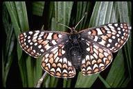 Euphydryas editha bayensis