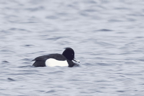Tufted Duck at Essex Ferry Dock | Essex on Lake Champlain