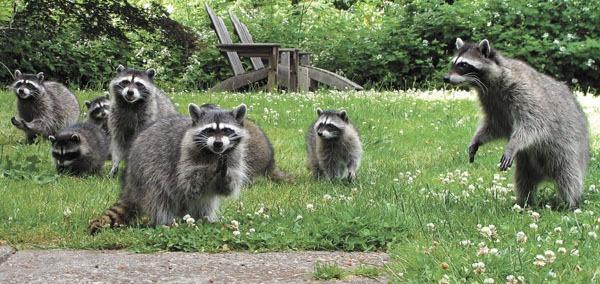 Bildergebnis für Raccoons on Vashon Island