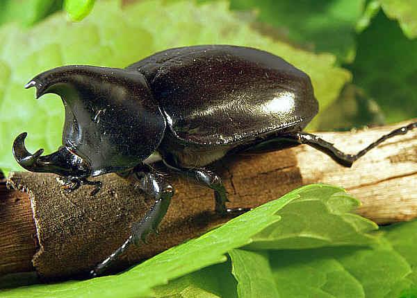 Hasil gambar untuk kumbang kelapa