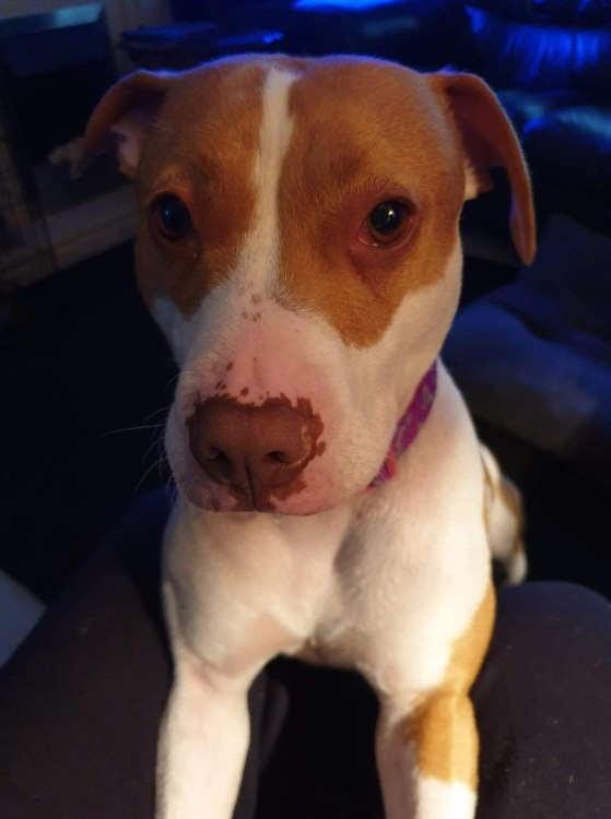 Sammy – 1-2 year old female Jack Russell Terrier cross Staffordshire Bull Terrier