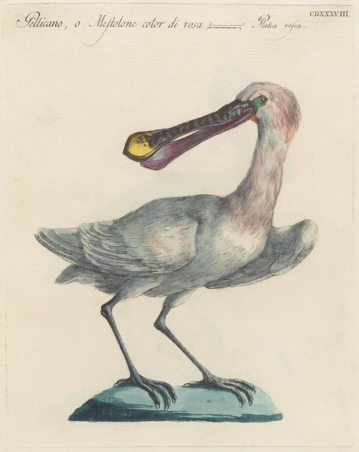 engraving of a pelican, hand-coloured