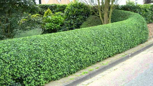 The Gracious Elegance of Privet Hedge Plants