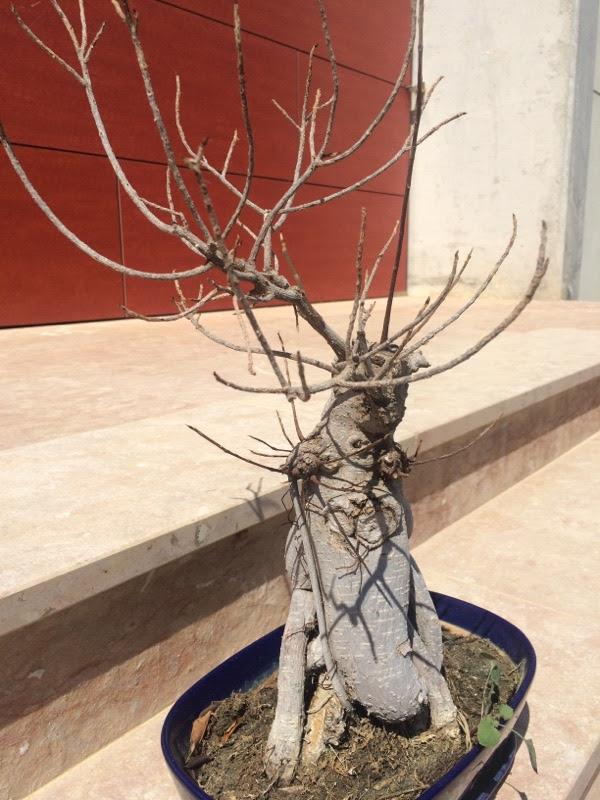 Bonsai Ficus Ginseng Tree Care Bonsai Tree