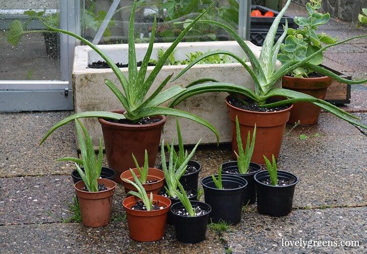 Propagating Aloe Vera Plants - Lovely Greens