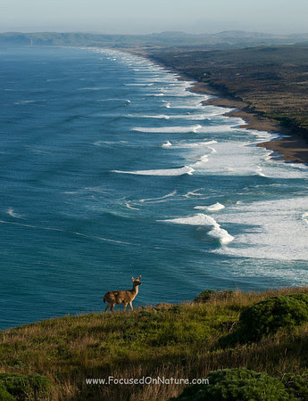 Blacktail Deer Overlooking South Beach