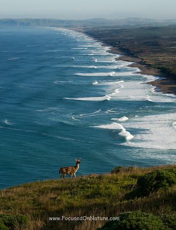 Blacktail Deer Overlooking South Beach