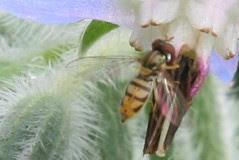 pollinator 071
