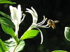 honey bee on honeysuckle by Aka Hige