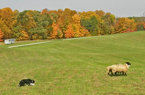 herding @ Gale Woods