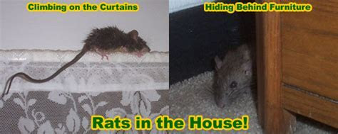 Rat Removal from House, Attic, Ceiling, Wall, Building   Rodent Control