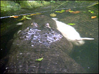 Rabbit fed to alligator at zoo