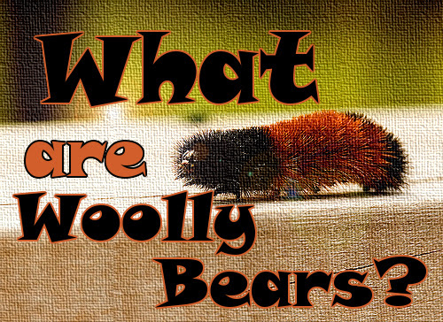 What are Woolly Bears?