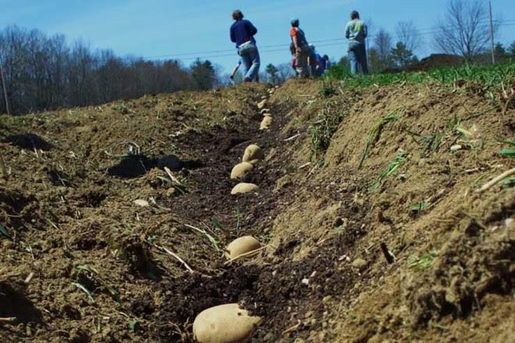 Cultivo de pataca