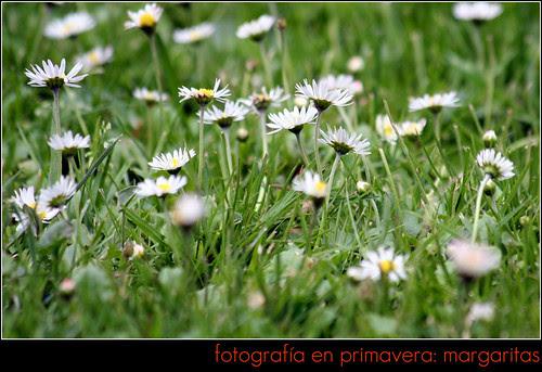 fotos en primavera: margaritas