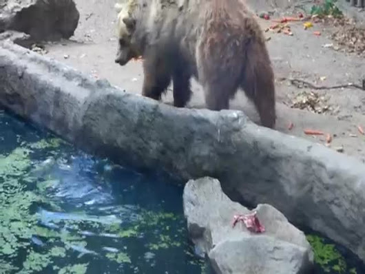 The Unexpected Moment a Bear Saves a Crow from Drowning  (VIDEO)