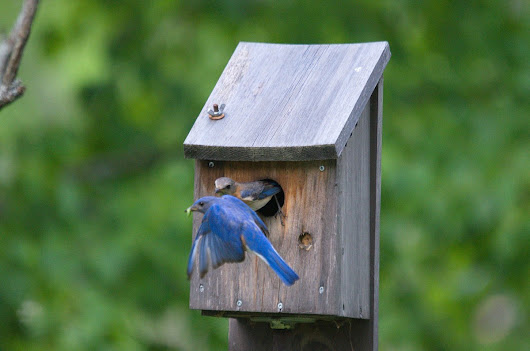 Eastern Bluebirds with fledglings at Oxtongue Lake