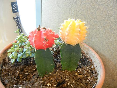 Yellow Cactus _ 8599