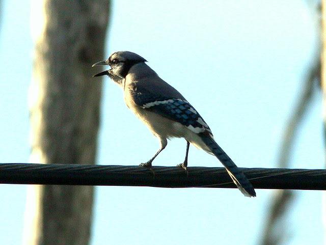 Blue Jay near Eagle nest 20091216