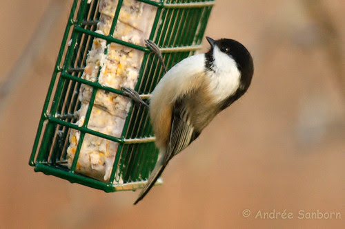 Black-capped Chickadee  6